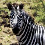 Ethiopie : le parc Nechisar